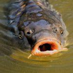 4 tips voor beginnende karpervissers